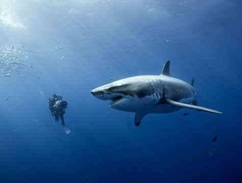 OCEANS-shark